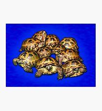 Greek Tortoise Group - Dark Blue Photographic Print