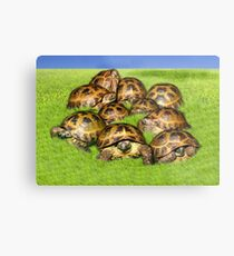 Greek Tortoise Group on Grass Background Metal Print