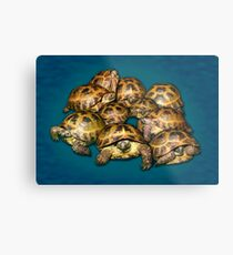 Greek Tortoise Group on Gray-Blue Background Metal Print