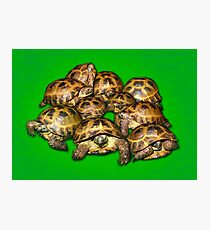 Greek Tortoise Group on Bright Green Background Photographic Print