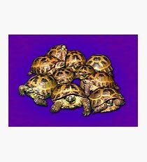 Greek Tortoise Group on Purple Background Photographic Print