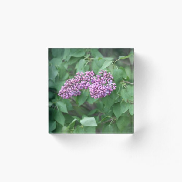 Spring Lilacs  Acrylic Block