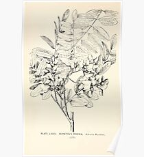 Southern wild flowers and trees together with shrubs vines Alice Lounsberry 1901 085 Boynton's Robinia Poster