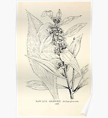 Southern wild flowers and trees together with shrubs vines Alice Lounsberry 1901 168 Goldon Rod Poster