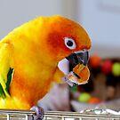 An Orange Feast - Sun Conure  by AndreaEL