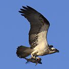 Nice catch over Narrabeen Lake by Doug Cliff