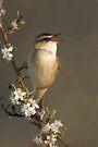 Sedge Warbler by Neil Bygrave (NATURELENS)
