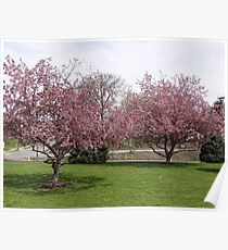 The cherry trees in full bloom Poster