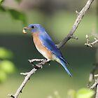 04 Eastern Bluebird  by Sheryl Hopkins