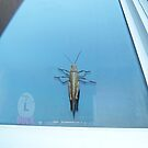 Huge Grasshopper At The Flats 06 05 2016 by Robert Phillips