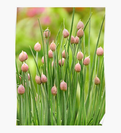 Chive Buds Poster