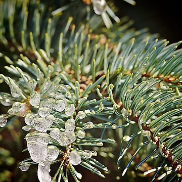 Pine branches covered with ice melted in the sun by Lidiebug