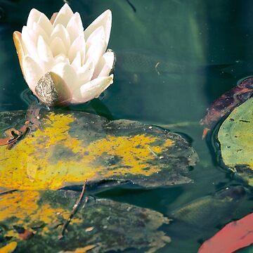 Waterlily in garden pond by Lidiebug