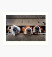 Foxhounds looking out of trailer Art Print
