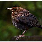 Blackbird chick by Martyn Franklin