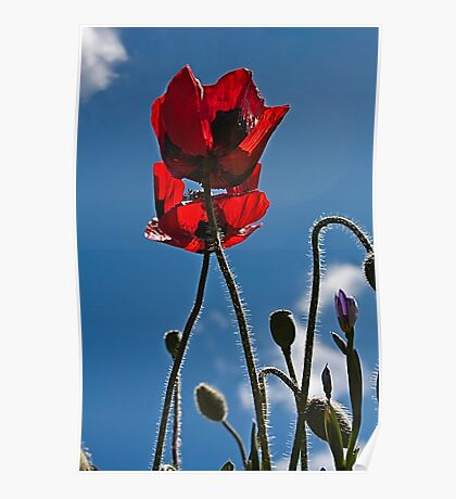 Poppies In Late Afternoon Poster