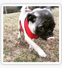 Pugsley and his red harness Sticker