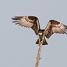 Balancing Act - Osprey by Jim Cumming