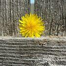 Dandelion on a Fence by Megan Stone
