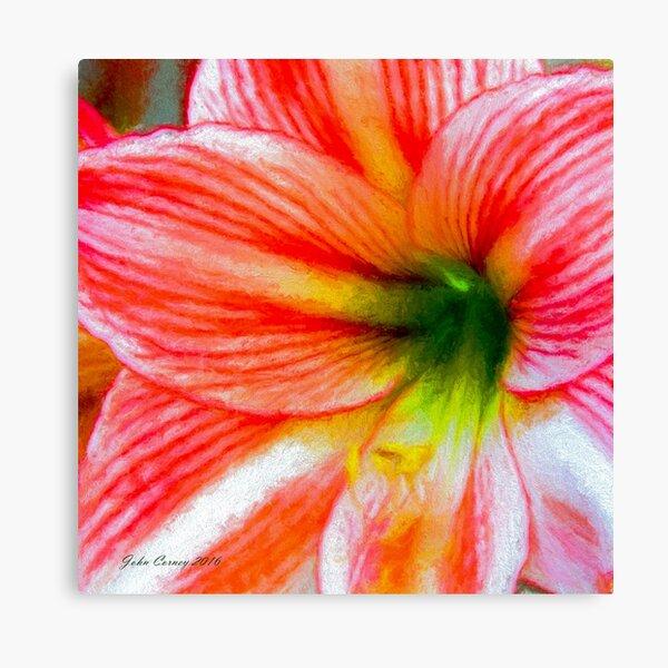 Candy-Cane Striped Amaryllis Canvas Print