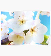 White Cherry Blossoms ( Van Gogh Style Painting ) Poster