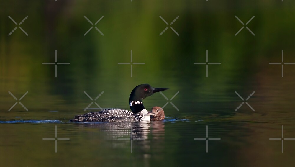 Common loon and chick by Jim Cumming