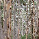 Karri Trees at Boranup Forest by Jack Bridges