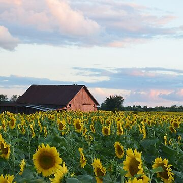 Sunflower Field by Deb504