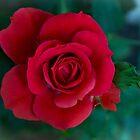 Red red rose by Lynn Starner