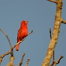 Summer Tanager by Kate Farkas