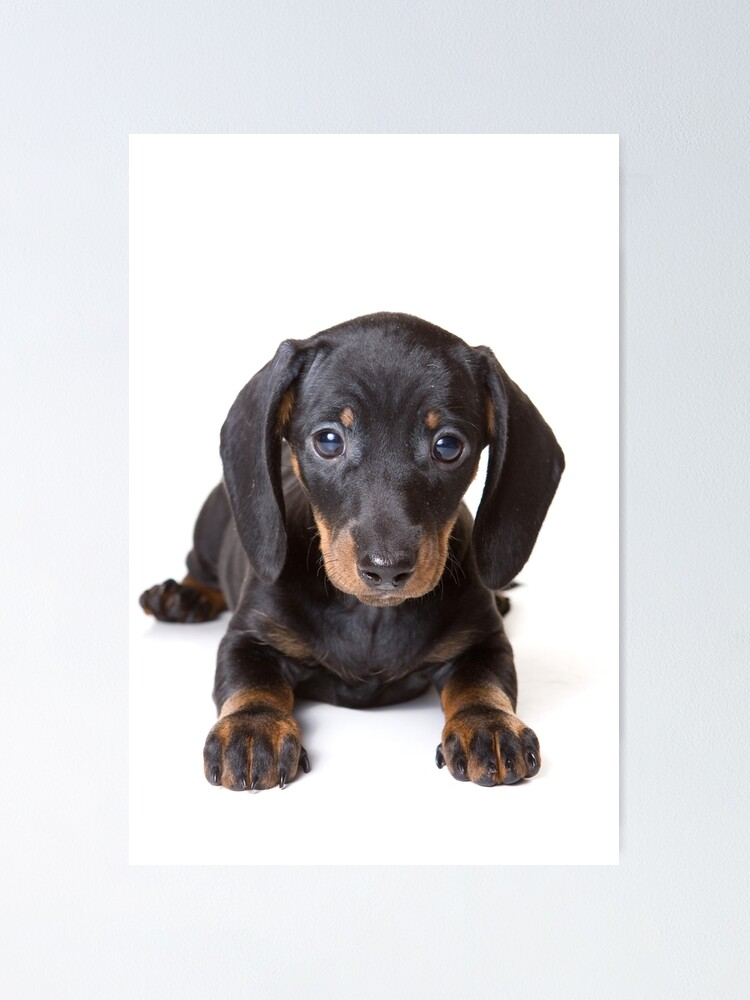 LONG HAIRED DACHSHUND CHARMING DOG PRINT MOUNTED READY TO FRAME