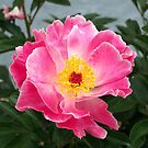 Fawcett Rose by BC Family