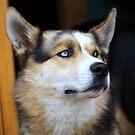 Yukon Husky by BC Family