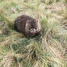 Wombat by SusanAdey