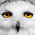 Snowy Owl by Anthony Hedger Photography