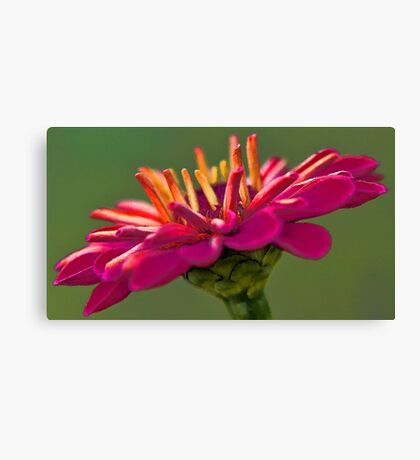 Zinnia - Profusion Cherry Canvas Print