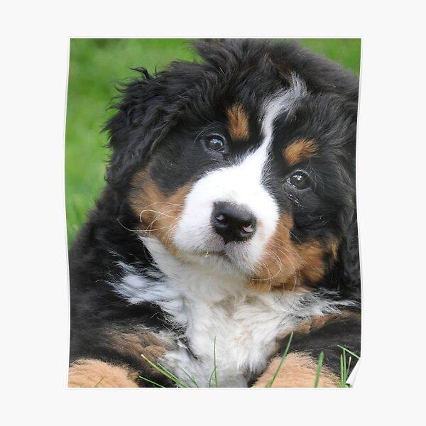 Bernese Mountain Dog ! Poster