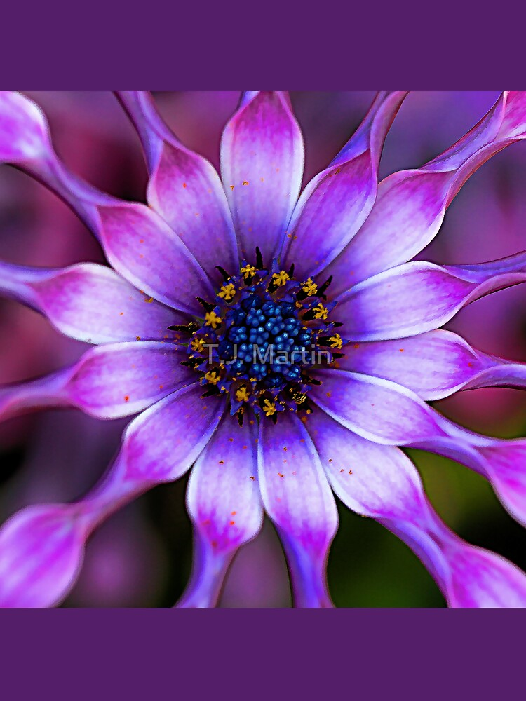 Soprano - Lilac Spoon African Daisy by rural-guy