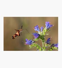 Hummingbird Clearwing Moth Photographic Print
