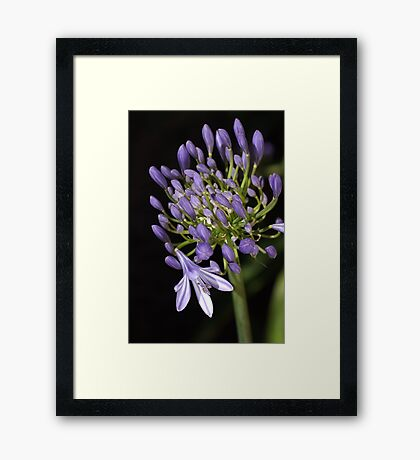 flower- agapanthus-blue-buds-one-flower Framed Print