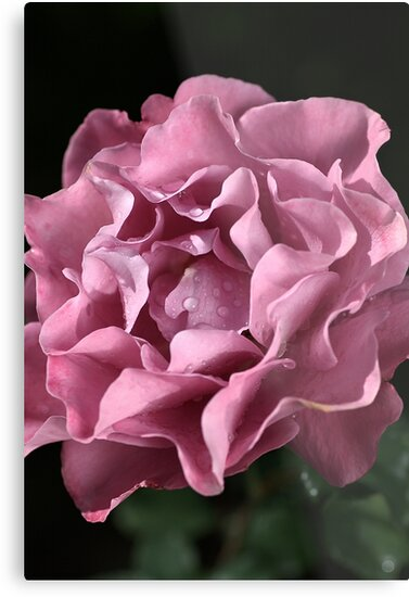 Frilly Rose by Joy Watson