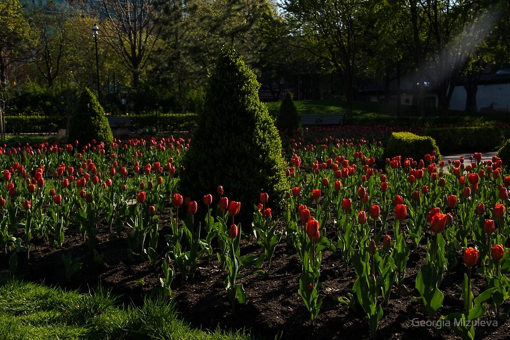 Downtown Victorian Garden - Red Tulips and Sunshine by Georgia Mizuleva