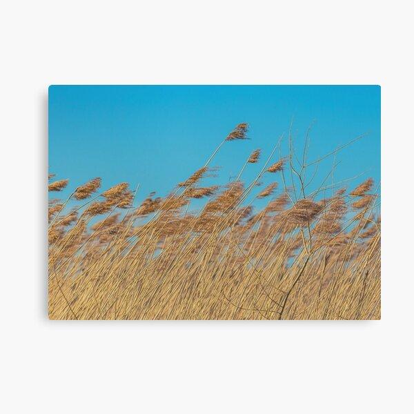 Yellow reeds, blue sky Canvas Print