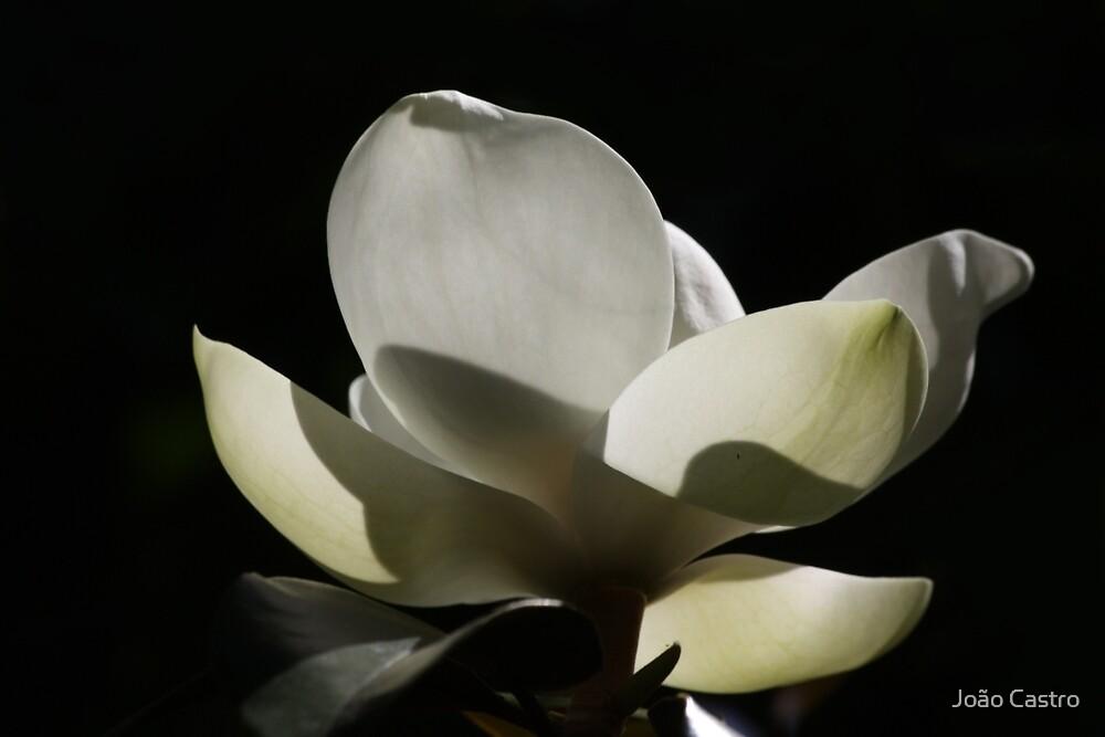 Magnolia 1816 by João Castro