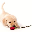 labrador puppy sniffing red rose by heatherbyrne