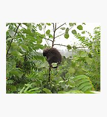Porcupine in a Tree Photographic Print