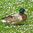 Drake Mallard Duck by Kawka