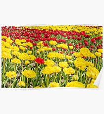 red and yellow tulips growing in the flowerbed Poster