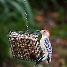 Red Bellied Woodpecker Feeding by David Lamb