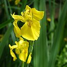 Pretty spring yellow iris and green leaves. by naturematters